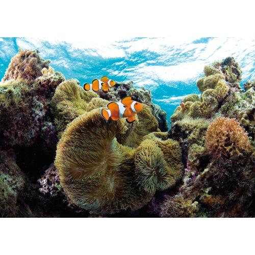 クマノミと珊瑚