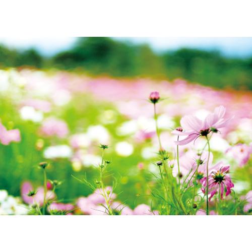 風に揺れるコスモス(花・ガーデン)